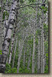 images/Trails/LakeTahoe/Tahoe-09JUL05-MartlettLake-Aspens-02.jpg