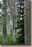 images/Trails/LakeTahoe/Tahoe-09JUL05-MartlettLake-Aspens-04.jpg